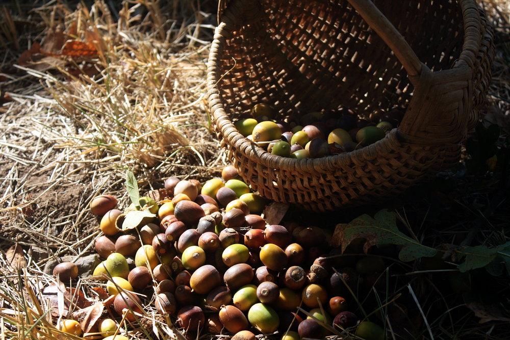 acorns1.JPG