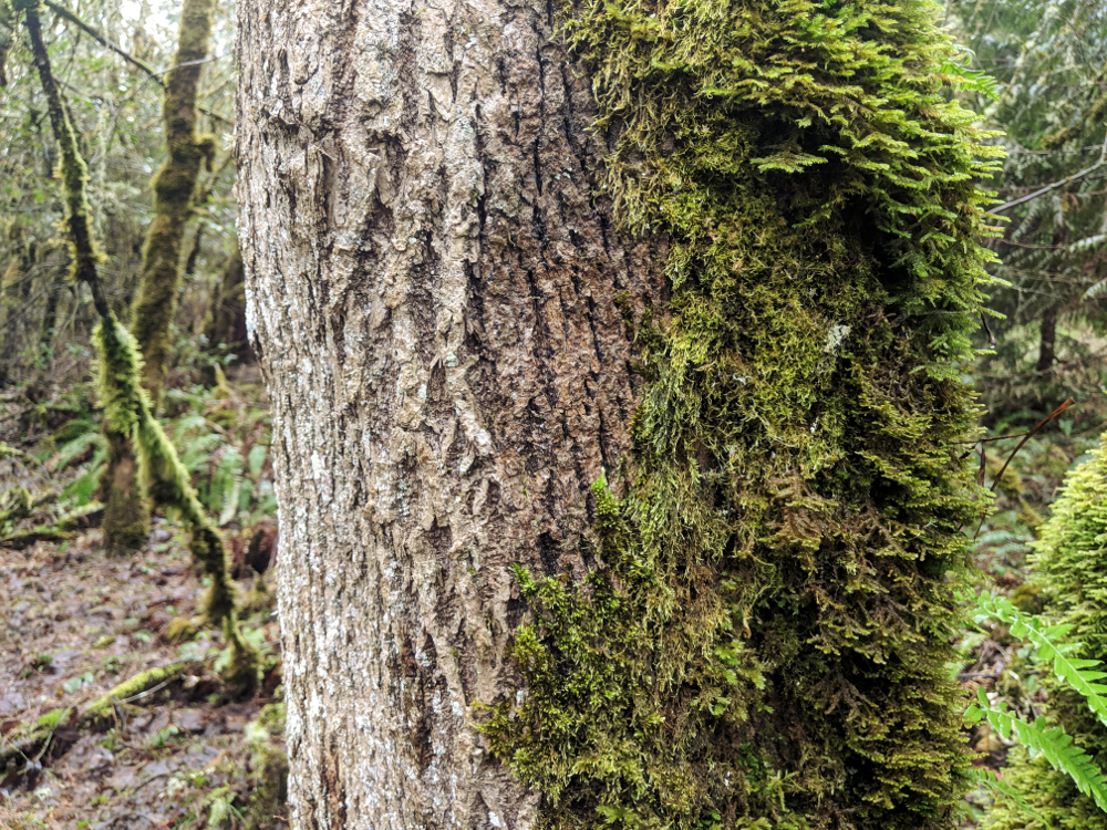 You've probably heard that moss grows on the north side of trees. It's not 100% accurate and doesn't help when there's moss all around the trunk. In the case of this picture, though, the saying holds true.
