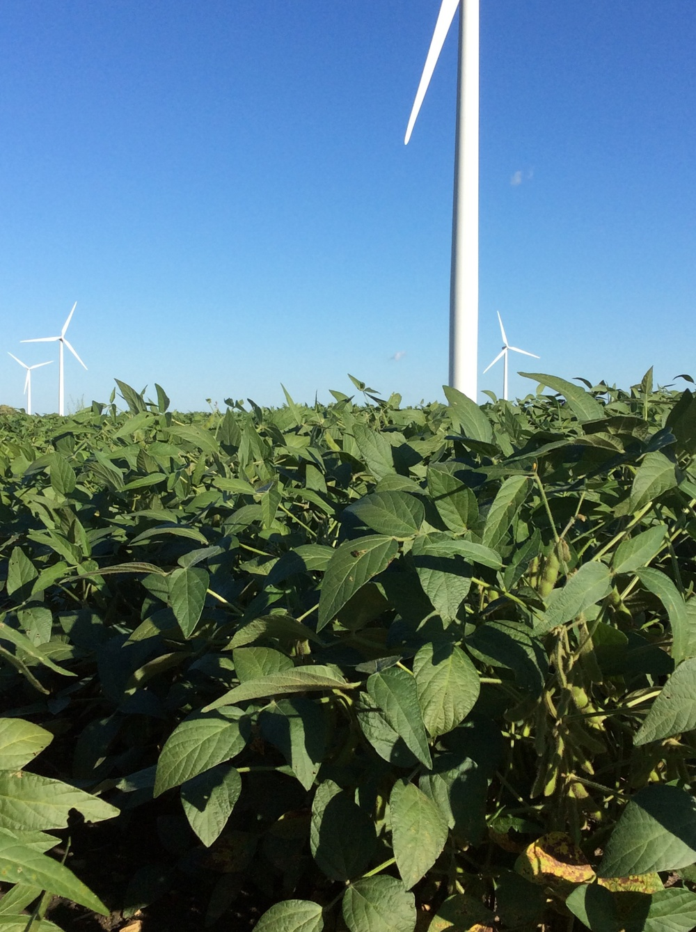 Soybeans under the blades