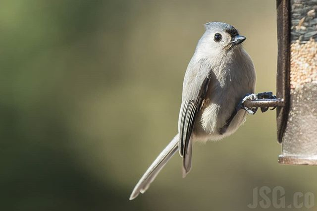 Here are some #titmouse #titmouses #titmices? #wildwednesday