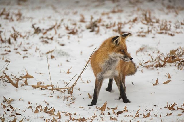 Here's a #redfox on a hunt in the #snow Stay safe out there.