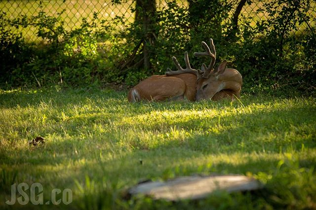 Since it's winter and no one wants to go outside, here's a photo of a deer lounging in the summer evening sun to make us think of warmer days. #wildwednesday #wildbackyard #deer #summer