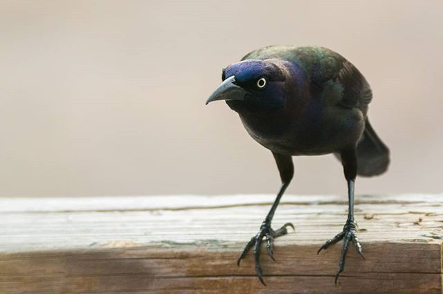 This it the #commongrackle Their feathers look iridescent, which helps because otherwise they would look pretty sinister. #wildwednesday #wildbackyard