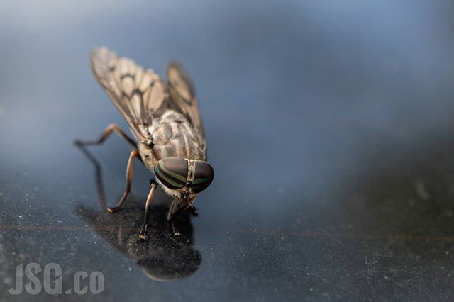 I don't know why, but this #horsefly didn't seem at all afraid of me. He stuck to my wife's rear windshield until I was 6 inches from him with a giant camera and did not budge. #ThanksbutNoThanks #wildwednesday