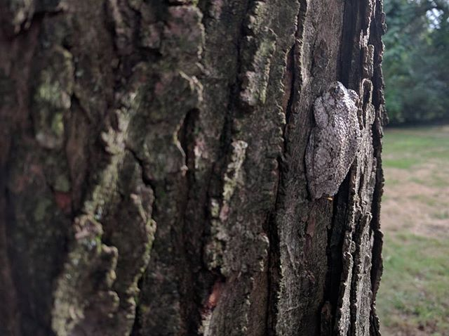 """I spy with my little eye... The #GrayTreeFrog is pretty common to the eastern United States. It doesn't stop me from doing a double take when I catch it out of the corner of my eye. Wait, what was that? And he stays still like """"You can't see me when I don't move."""" #FrogsThinkWeAreTRexes"""