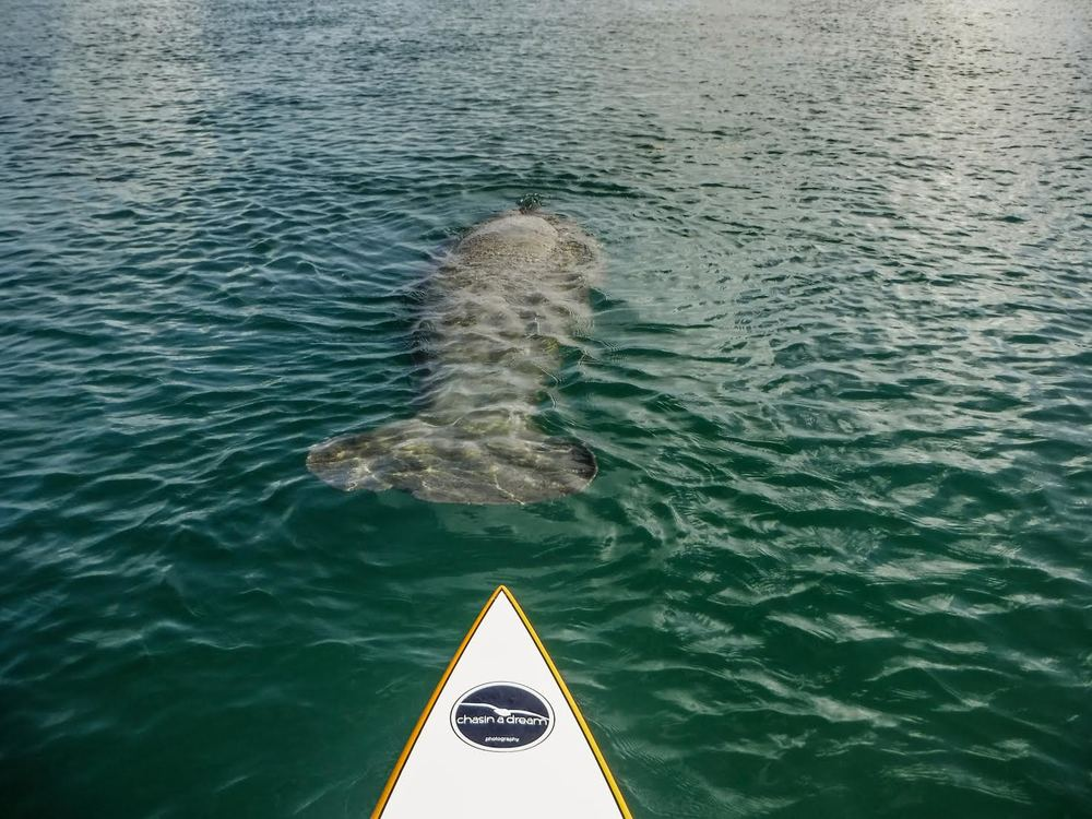 Paddle with Manatee