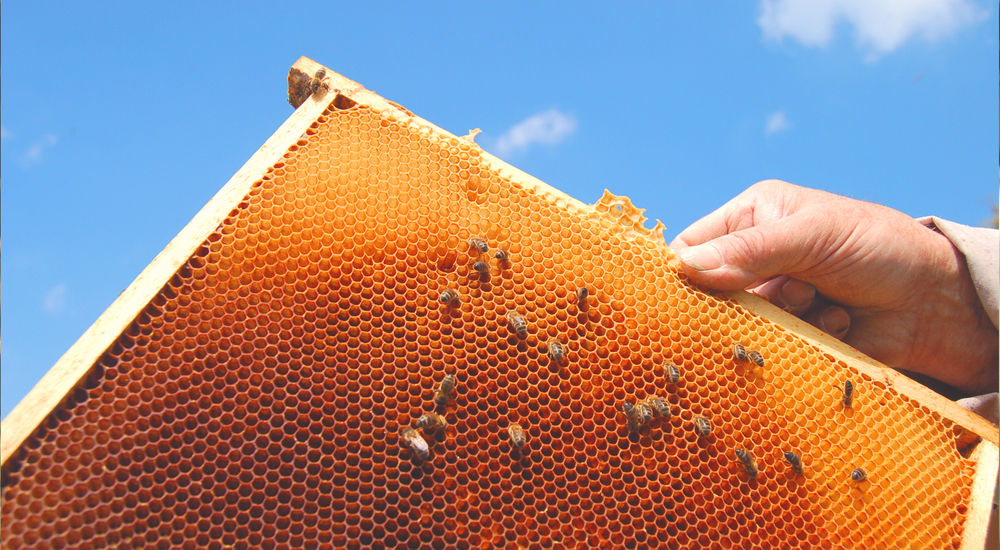 Bees on a honeycomb Frame