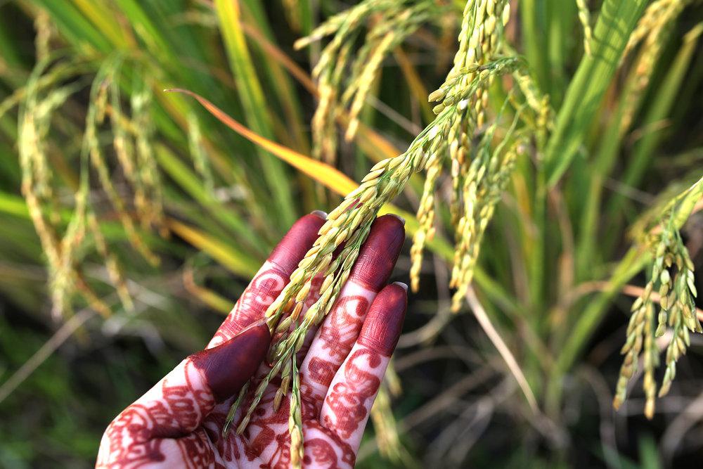 Rice From Grandpa- NPIB