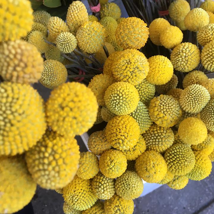 drumstick flowers