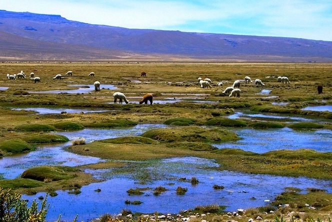 Los bofedales son importantes para la preservación del ecosistema, se deben generar iniciativas para protegerlos.