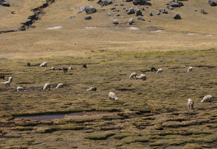 Alpacas y llamas pastando en un bofedal andino durante la época seca.