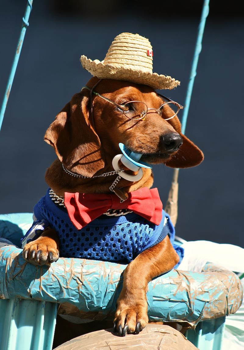 cuban show dog