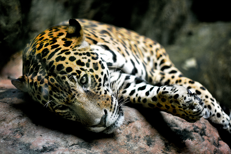 lazy jaguar