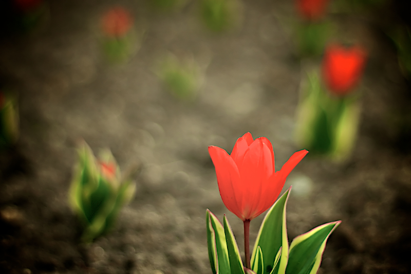 tulip dream