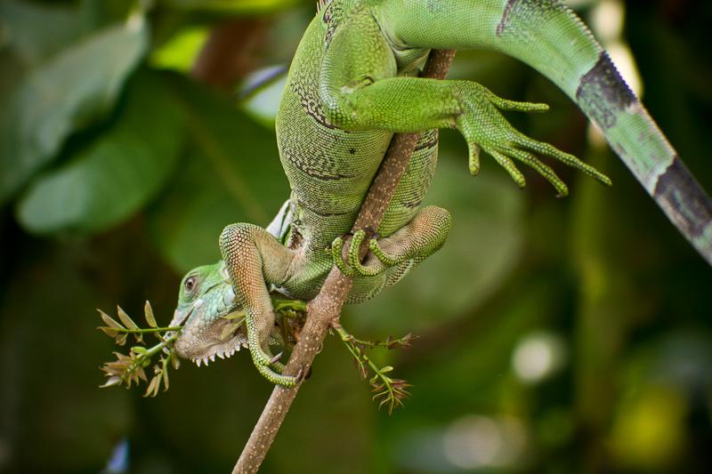 eating iguana