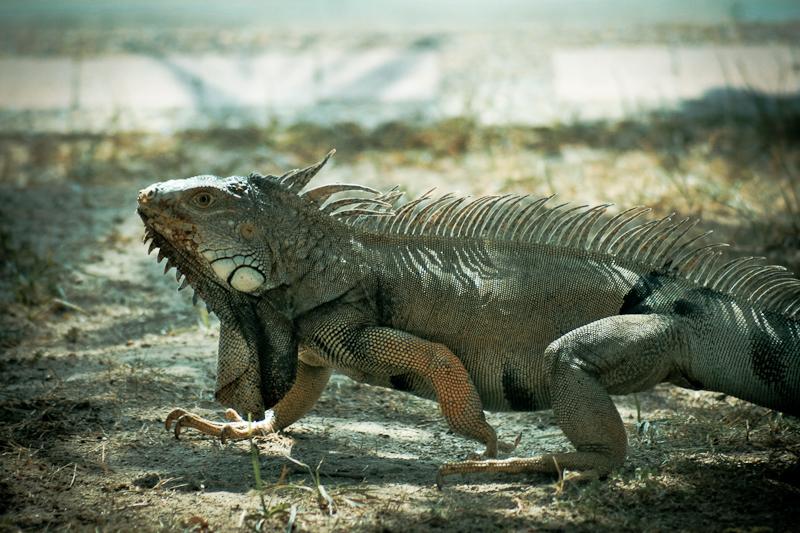 iguana on the run