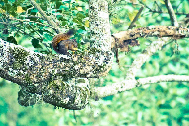 mango squirrel