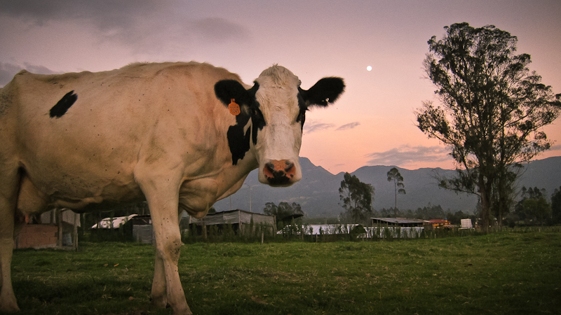 cow & moon