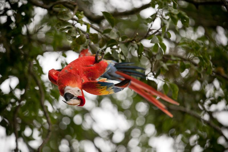 parrot danilo