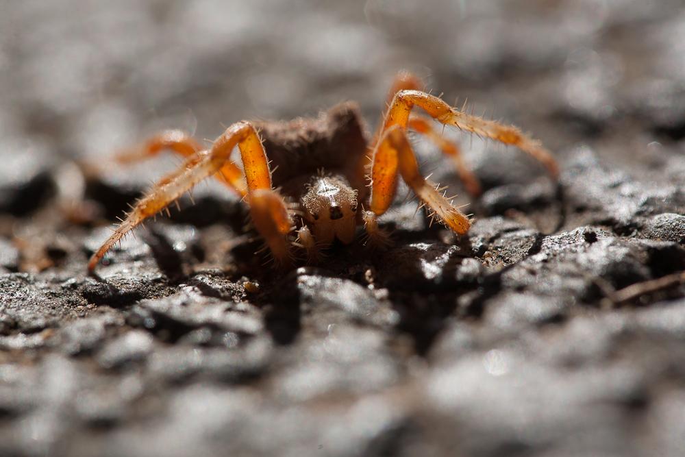 Spider in LA