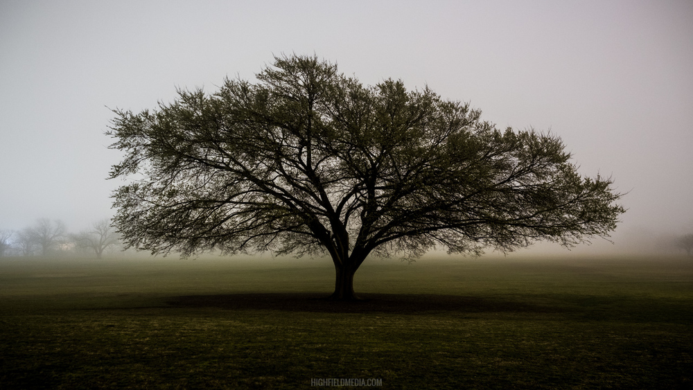 A giant Zilker Park tree against a backdrop of fog at 3AM.