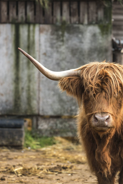 cow-2160.jpg