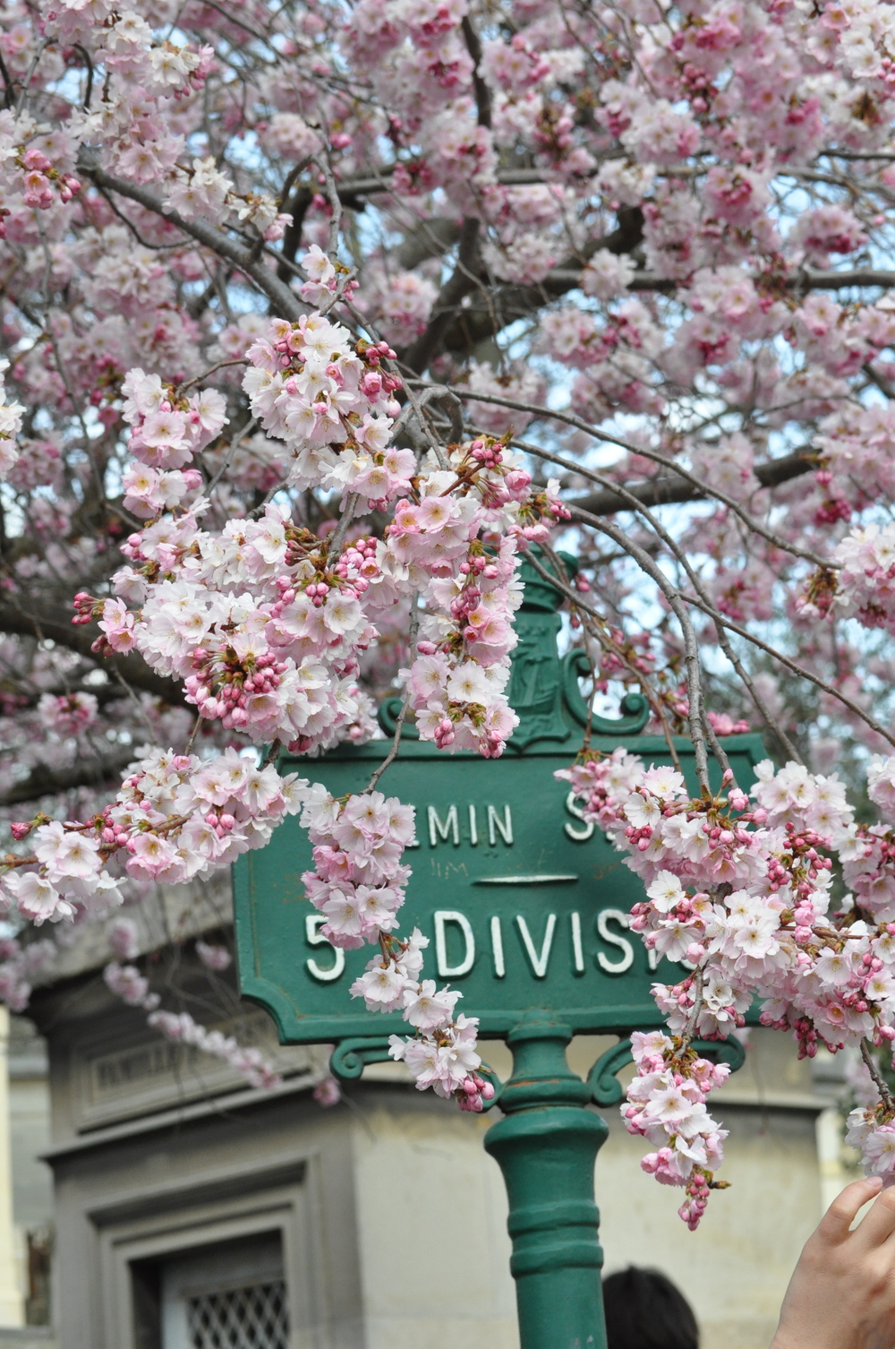 cherry blossoms in france - paris