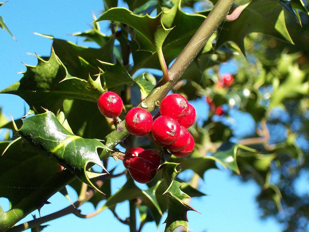 Ilex-aquifolium_(Europaeische_Stechpalme-1).jpg