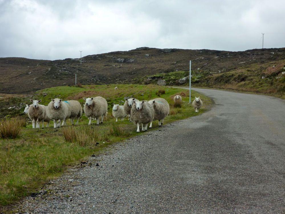 curious sheep.jpg