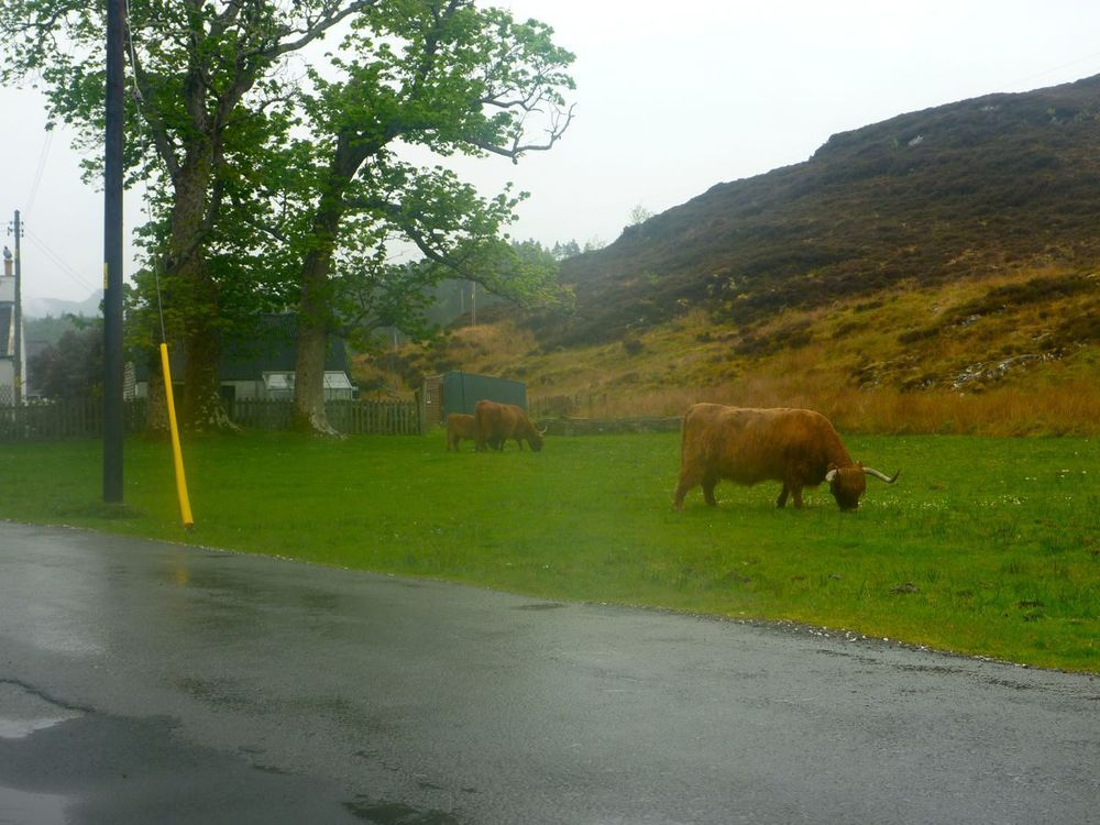 duirinish and freely-grazing highland cattle.jpg