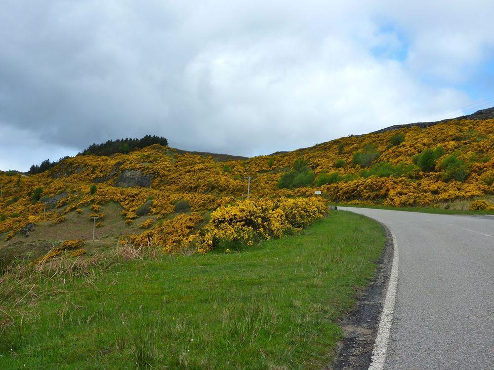 gorse-lined road away from kylesku.jpg
