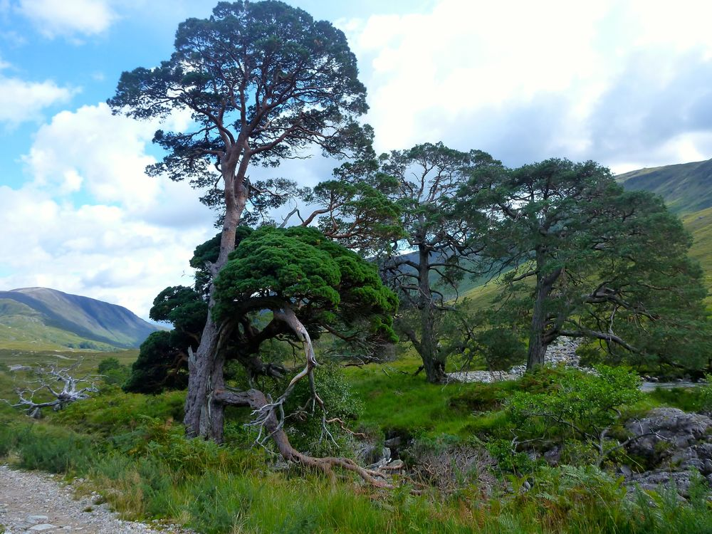 Lovely old scots pine along the Rive Cona.