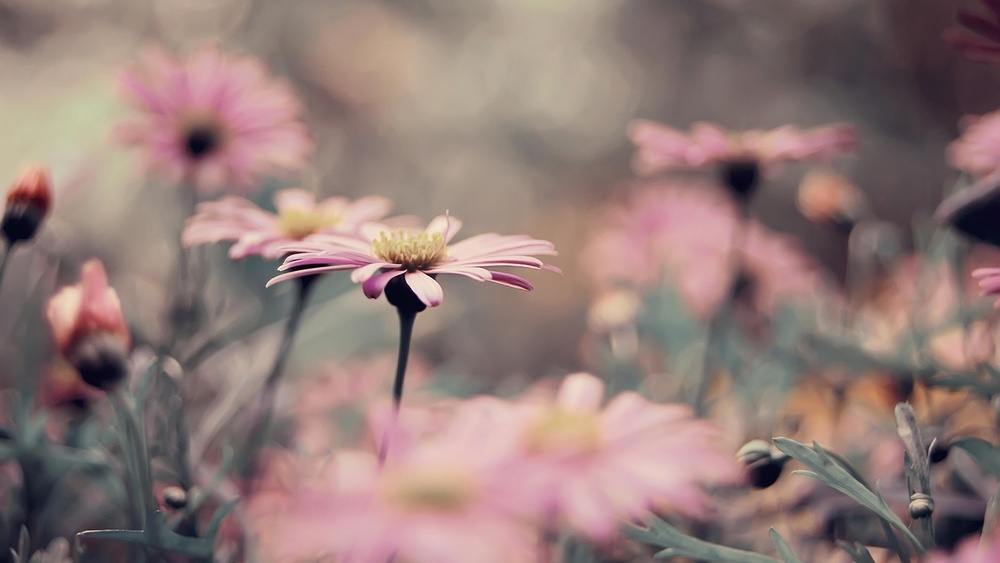 flowers-daisy-vintage-spring-beautiful-nature-plant-photo-hd-wallpaper.jpg