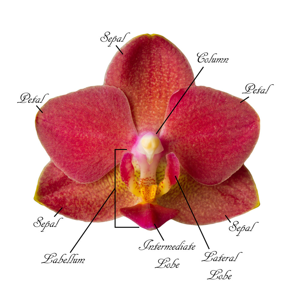 The anatomy of an orchid flower is detailed