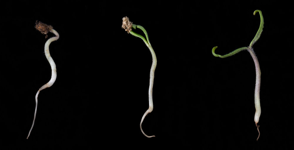 The cotyledons emerge from a  Solanum lycopersicum  seed