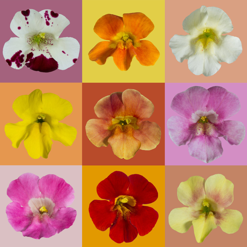 "Mimulus  ""Magic"" flowers are created by crossing  M. guttatus  with  M. luteus , resulting in a wide variety of colors in the F1 generation"