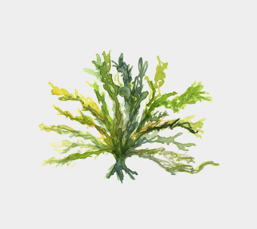 Watercolors1001_colorcorrrected_seaweed.jpg