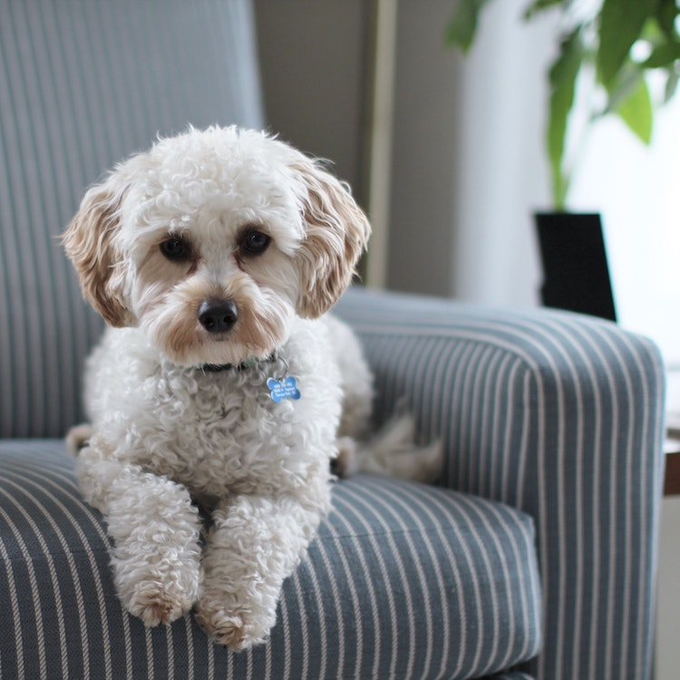 dog on upholstered chair