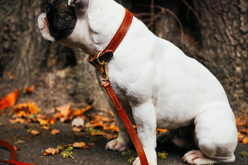 Billion-frenchie-leather lead-london-55.jpg