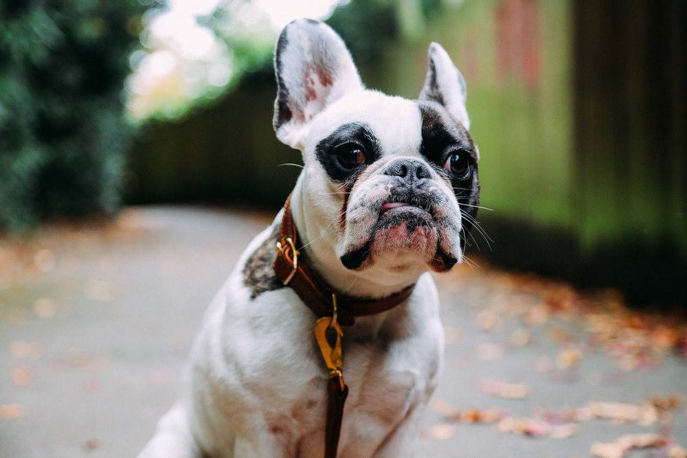 Billion-frenchie-leather lead-london-31.jpg