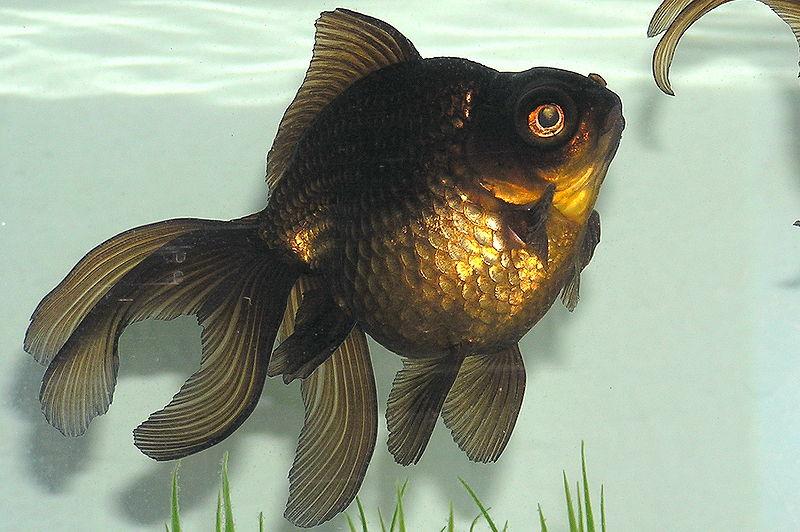 800px-Black_Moor_Goldfish-2.jpg