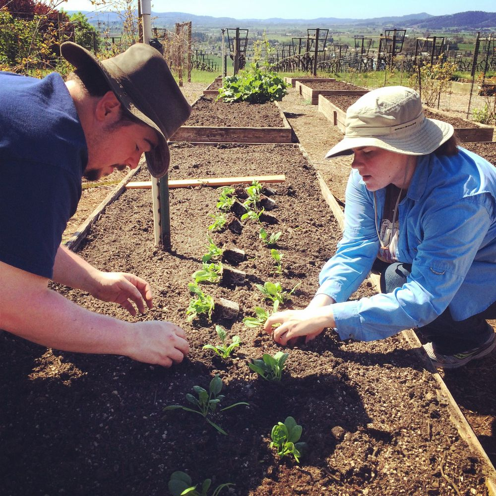 Planting Spinach