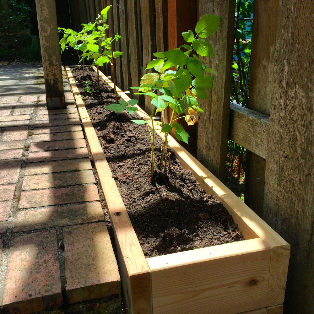 Raspberry bed with newly planted raspberries
