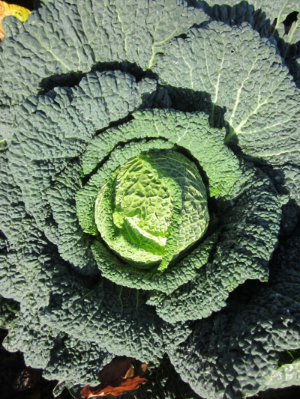 Many of the Savoy type cabbages are especially suited for winter growing.