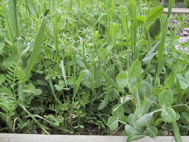 Growing Cover Crops In Your Home Garden Portland Edible