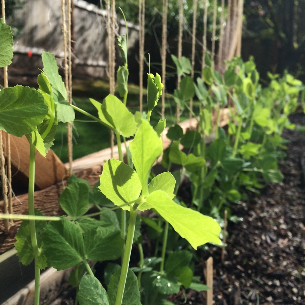 Sugar Snap Peas climbing the trellis in the morning light