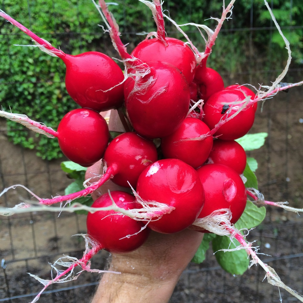 Cherriette Radishes are a favorite