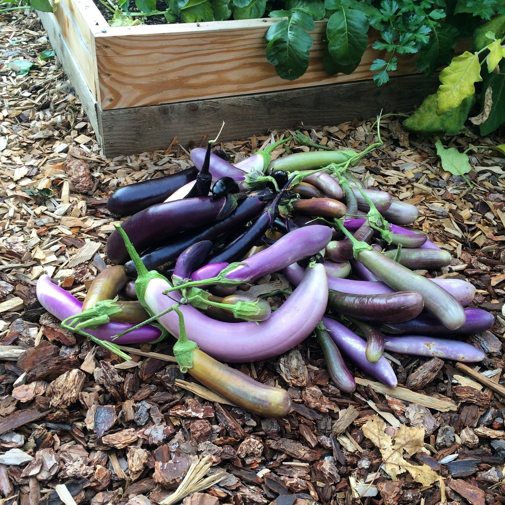 "It was an amazing year for eggplant!  I like to grow the quicker to mature ""Japanese"" types."