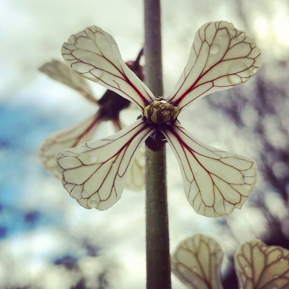 arugula flower
