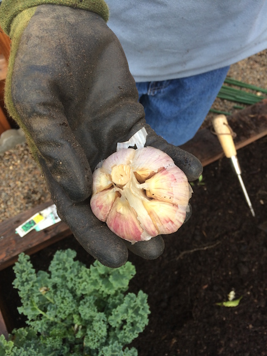 Hardneck garlic has large regular cloves organized around a rigid central stock.  Hardnecks are spicier and don't store as long as softnecks (3-6 months).